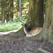Stock Photo: Resting deer