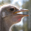 Royalty-Free Stock Photo: Ostrich profile