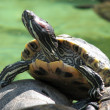 Turtle basking in the sun rays — Stock Photo