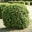 Stock Photo: Round bush