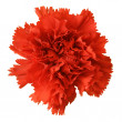 Stock Photo: Red carnation flower isolated on white b