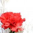 Carnation red greetings flower on white — Stock Photo
