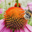 Stock Photo: Bee and pink flower