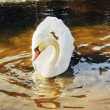Swan on spring water — Stock Photo #2780345