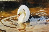 Swan on spring water — Stock Photo