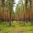 Pine forest -  