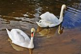 Two swans on spring water — Stock Photo