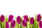 Paarse tulpen frame — Stockfoto