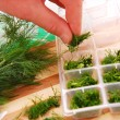 Stock Photo: Freezing dill for winter
