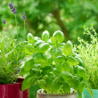 Home herb`s garden — Stock Photo