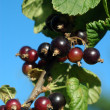 black currant&quot — Stock Photo