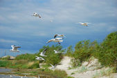 Seagulls flying at the sea — Stock Photo