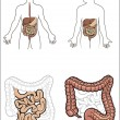 Royalty-Free Stock Vector Image: Human digestive system in vector
