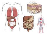 Human anatomy in vector — Stock Vector