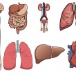 Royalty-Free Stock Vector Image: Human organ in vector