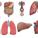 Human organ in vector — Stock Vector