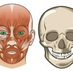 Human facial anatomy and skull in Vector — Stock Vector