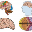Human brain in vector - Stock Vector