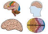 Human brain in vector — Stock Vector