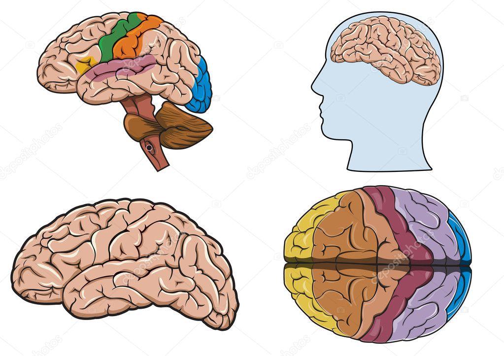 Схема человеческого мозга в