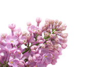 Syringa (Lilac) flower, isolated — Stock Photo