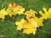 Maple leaves — Zdjęcie stockowe