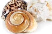 Three Sea Shells — Stock Photo