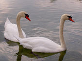 Swan couple — Stockfoto