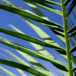 Royalty-Free Stock Photo: Palms leafs