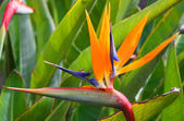 Bird of paradise (Strelitzia) — Stock Photo