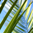 Palms leafs — Stock Photo #2882999