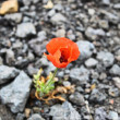 Royalty-Free Stock Photo: Poppy