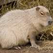 Cute capybara rodent against a straw bac — 图库照片