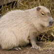Stock Photo: Cute capybara rodent against a straw bac