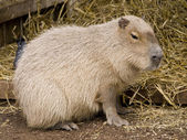 Cute capybara rodent against a straw bac — Stock Photo