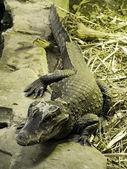 Large crocodile crawling across some sto — Stock Photo
