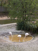 Group of flamingos resting — Stock Photo