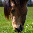 Beautiful Horse feeding — Stock Photo