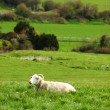 Peaceful sheep sitting in an open field — Foto Stock
