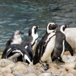 Group of penguins playing — Stock Photo