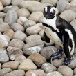 Cute little baby penguin — Stockfoto