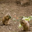 Prairie dogs feeding on salad — Stock Photo
