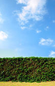 Clean cut hedge and a bright blue sky — Stock Photo