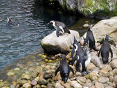 Group of penguins playing — Foto de Stock