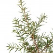 Juniper branch — Stock Photo