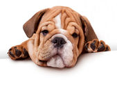 Puppi of bulldog — Stock Photo