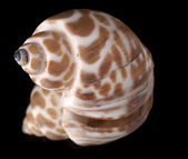 Sea cockleshell — Stock Photo