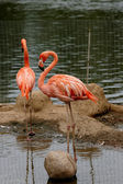 Pink flamingo. — Stock Photo