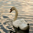 White swan — Stock Photo #2885304