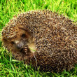 The thick hedgehog on a green grass — Stock Photo